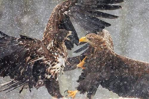 Wildlife Photographer - Scontro tra Aquile